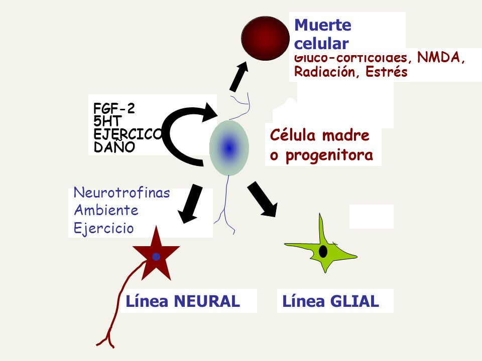 Línea GLIALLínea NEURAL Gluco-corticoides, NMDA, Radiación, Estrés Muerte celular Célula madre o progenitora FGF-2 5HT EJERCICO DAÑO Neurotrofinas Ambiente Ejercicio