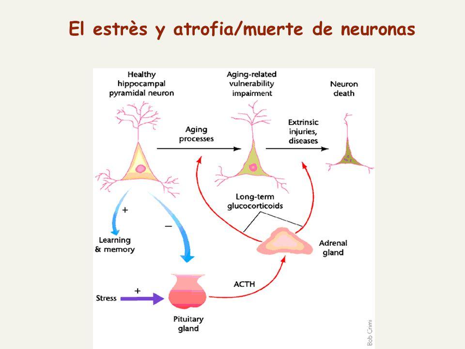 El estrès y atrofia/muerte de neuronas