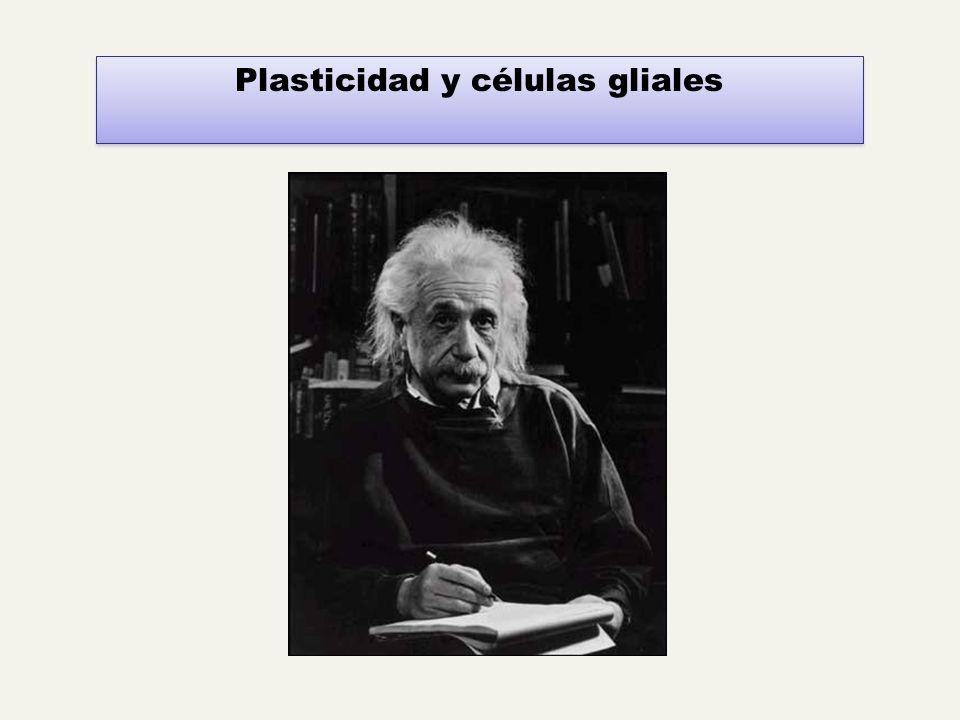 Plasticidad y células gliales