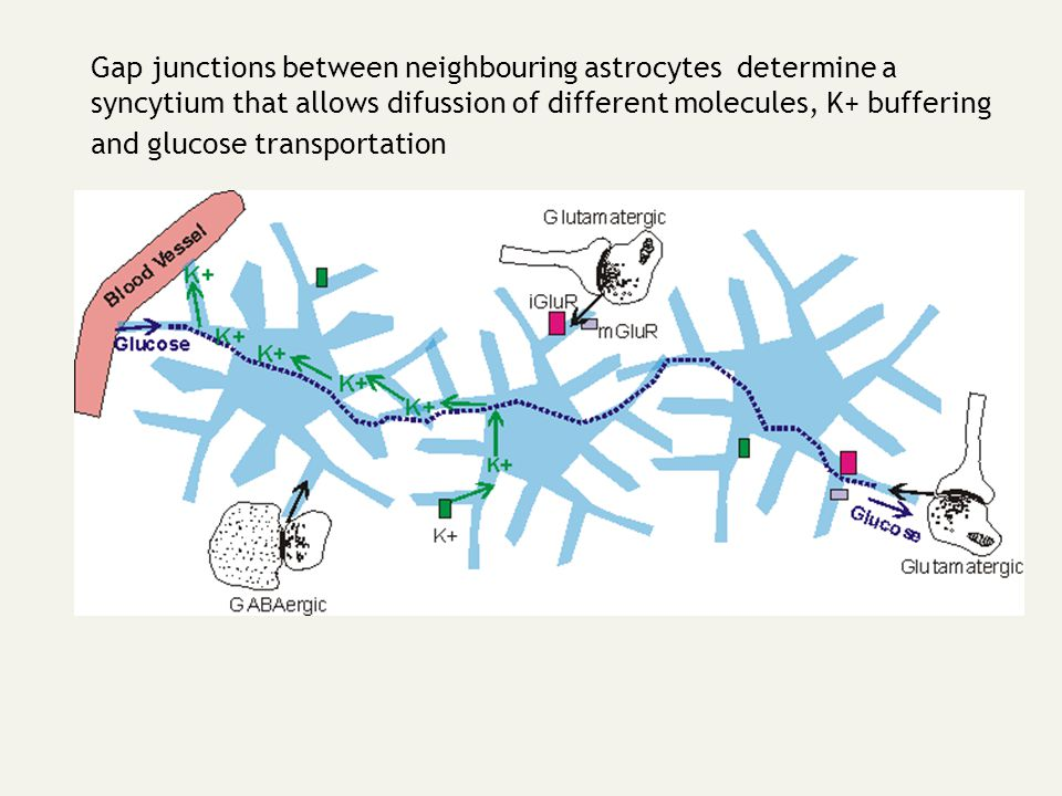 Gap junctions between neighbouring astrocytes determine a syncytium that allows difussion of different molecules, K+ buffering and glucose transportat