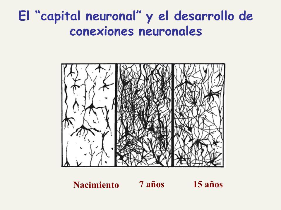 Nacimiento 7 años15 años El capital neuronal y el desarrollo de conexiones neuronales
