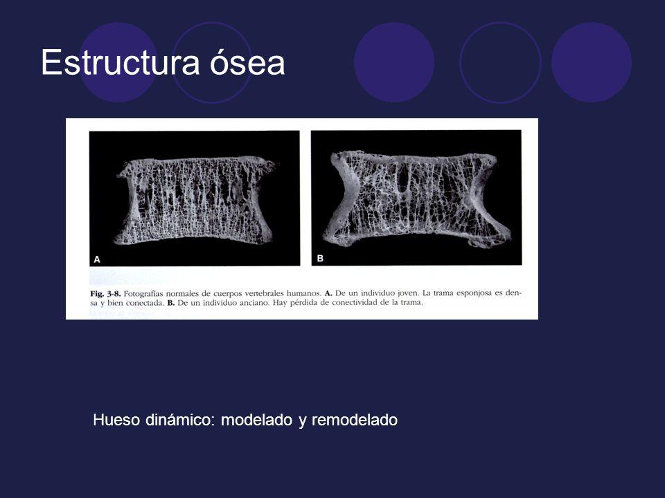 Estructura ósea Hueso dinámico: modelado y remodelado