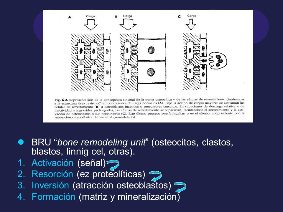 BRU bone remodeling unit (osteocitos, clastos, blastos, linnig cel, otras). 1.Activación (señal) 2.Resorción (ez proteolíticas) 3.Inversión (atracción