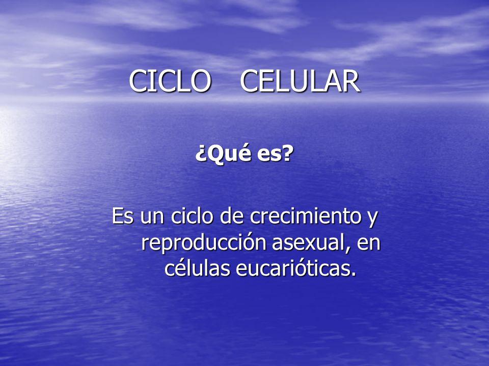 CICLO CELULAR ¿Qué es? Es un ciclo de crecimiento y reproducción asexual, en células eucarióticas.