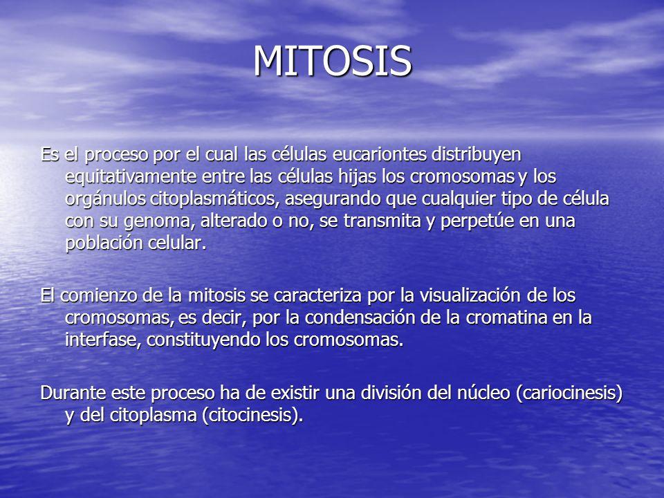 MITOSIS Es el proceso por el cual las células eucariontes distribuyen equitativamente entre las células hijas los cromosomas y los orgánulos citoplasm