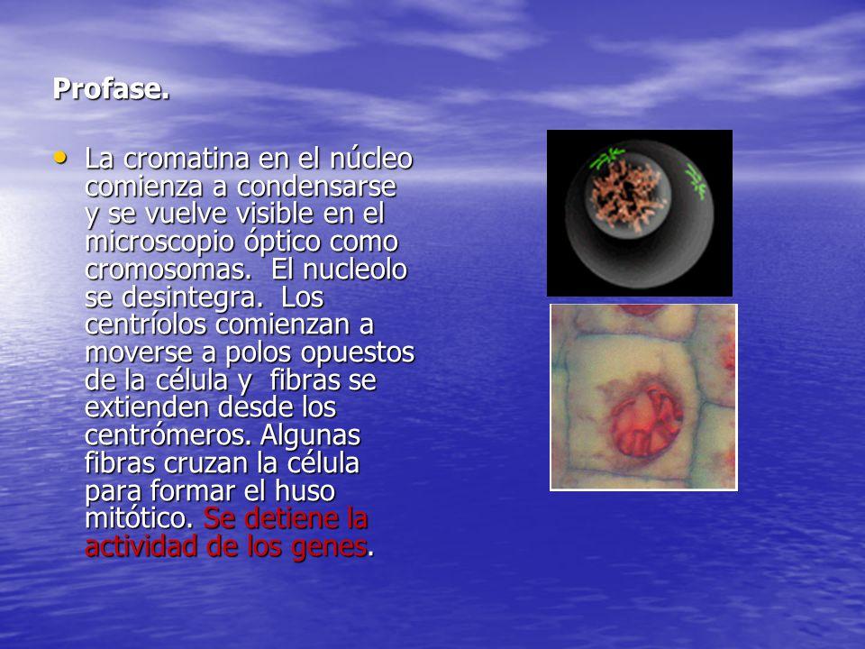 Profase. La cromatina en el núcleo comienza a condensarse y se vuelve visible en el microscopio óptico como cromosomas. El nucleolo se desintegra. Los