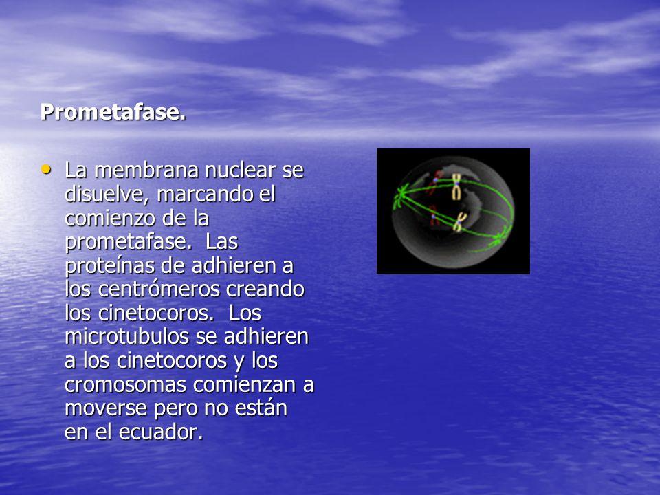 Prometafase. La membrana nuclear se disuelve, marcando el comienzo de la prometafase. Las proteínas de adhieren a los centrómeros creando los cinetoco