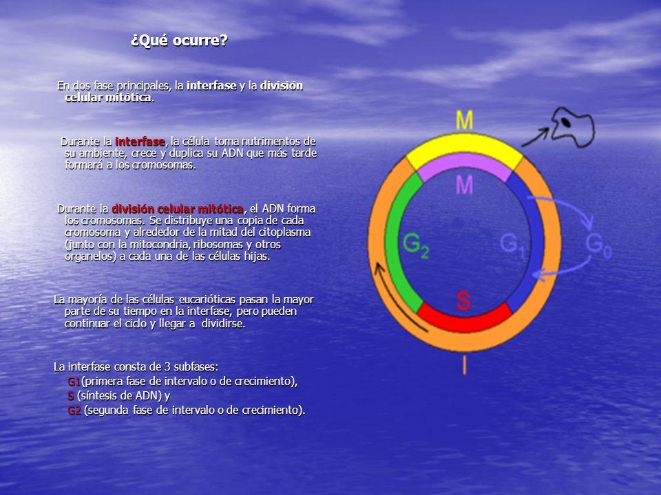¿Qué ocurre? En dos fase principales, la interfase y la división celular mitótica. En dos fase principales, la interfase y la división celular mitótic