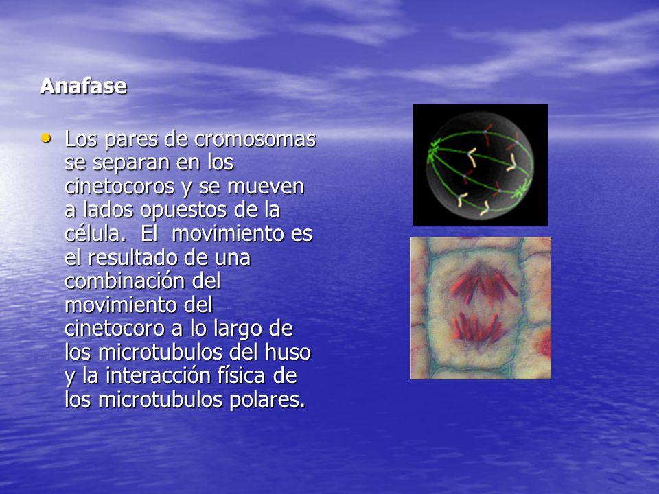 Anafase Los pares de cromosomas se separan en los cinetocoros y se mueven a lados opuestos de la célula. El movimiento es el resultado de una combinac