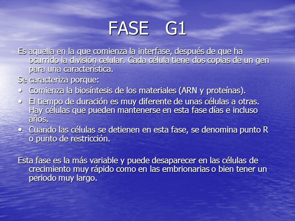 FASE G1 Es aquella en la que comienza la interfase, después de que ha ocurrido la división celular. Cada célula tiene dos copias de un gen para una ca