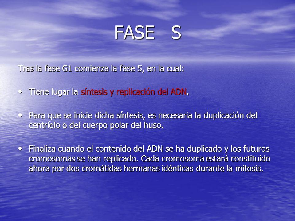 FASE S Tras la fase G1 comienza la fase S, en la cual: Tiene lugar la síntesis y replicación del ADN. Tiene lugar la síntesis y replicación del ADN. P