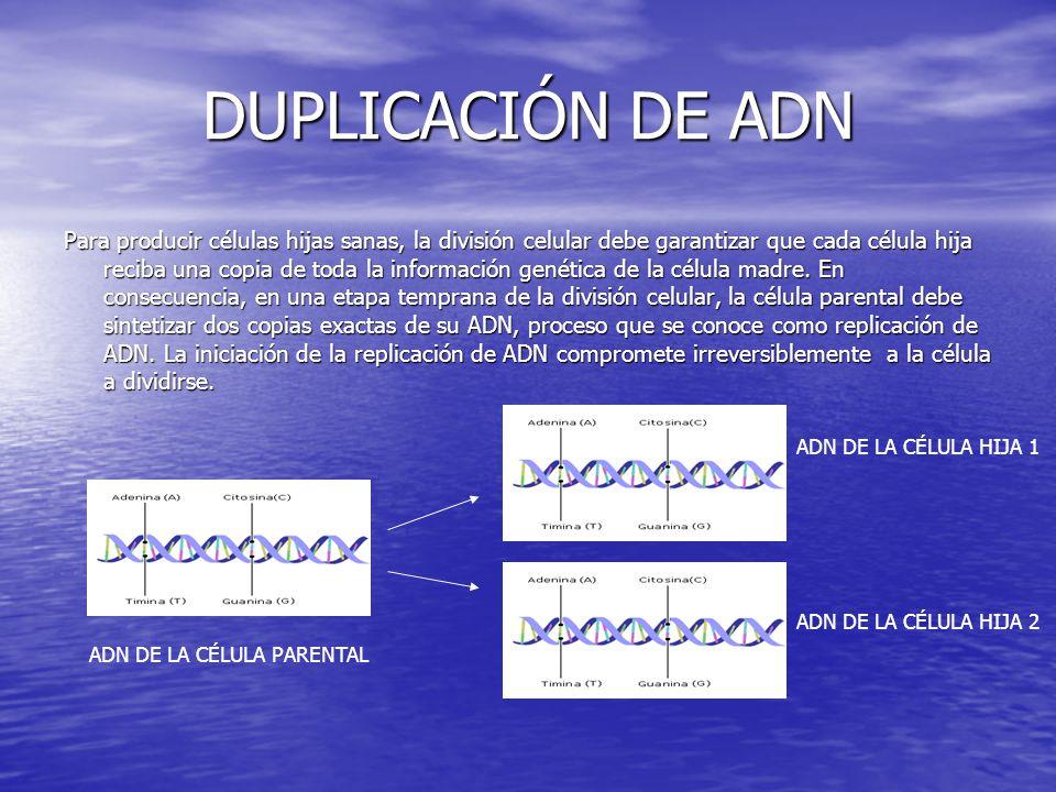 DUPLICACIÓN DE ADN Para producir células hijas sanas, la división celular debe garantizar que cada célula hija reciba una copia de toda la información