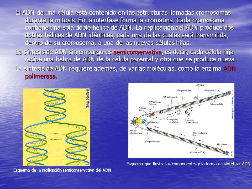 El ADN de una célula está contenido en las estructuras llamadas cromosomas durante la mitosis. En la interfase forma la cromatina. Cada cromosoma cont
