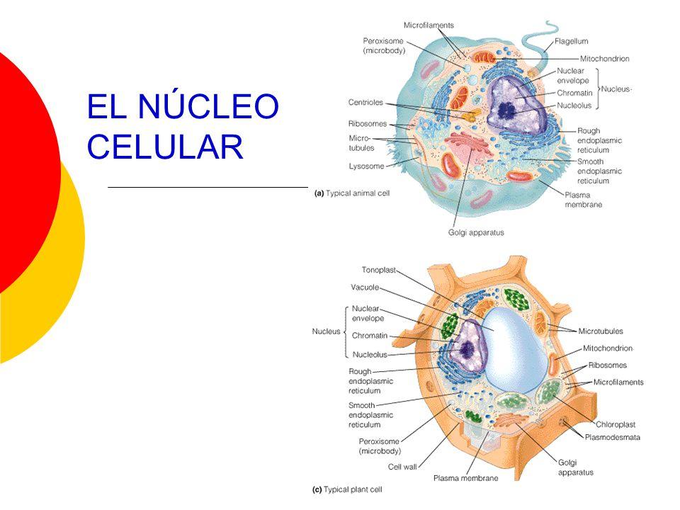 El núcleo: centro de control de la célula Generalmente es el organelo más conspicuo.