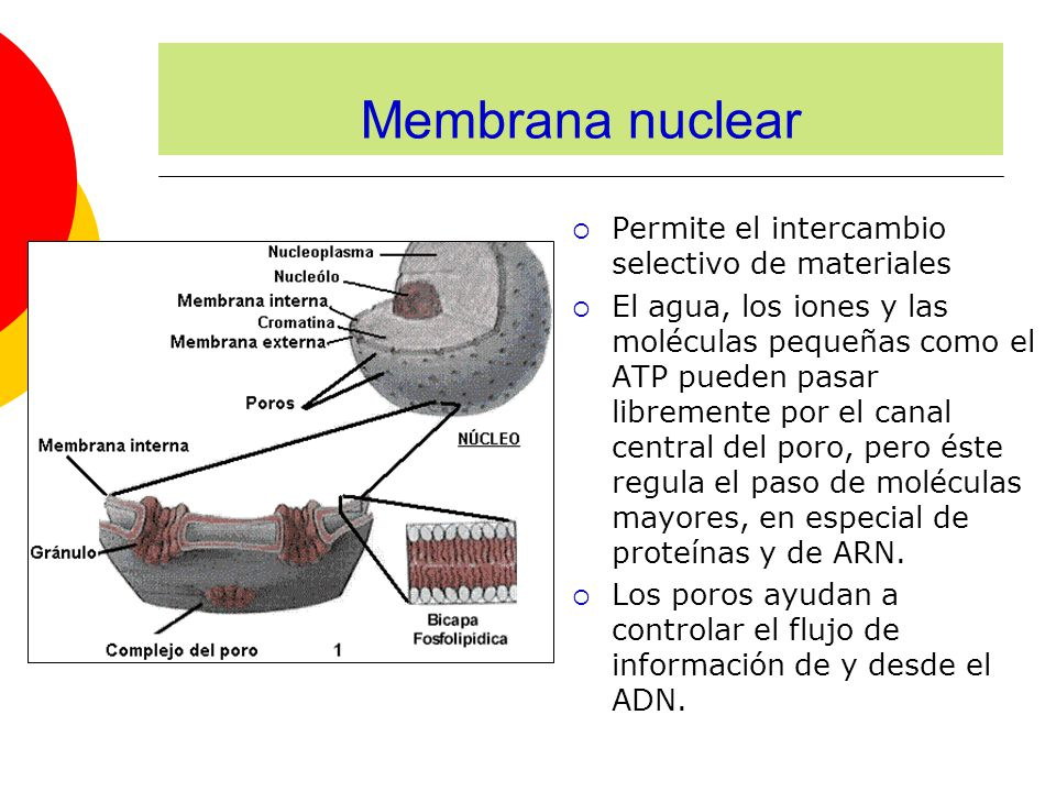 Permite el intercambio selectivo de materiales El agua, los iones y las moléculas pequeñas como el ATP pueden pasar libremente por el canal central del poro, pero éste regula el paso de moléculas mayores, en especial de proteínas y de ARN.