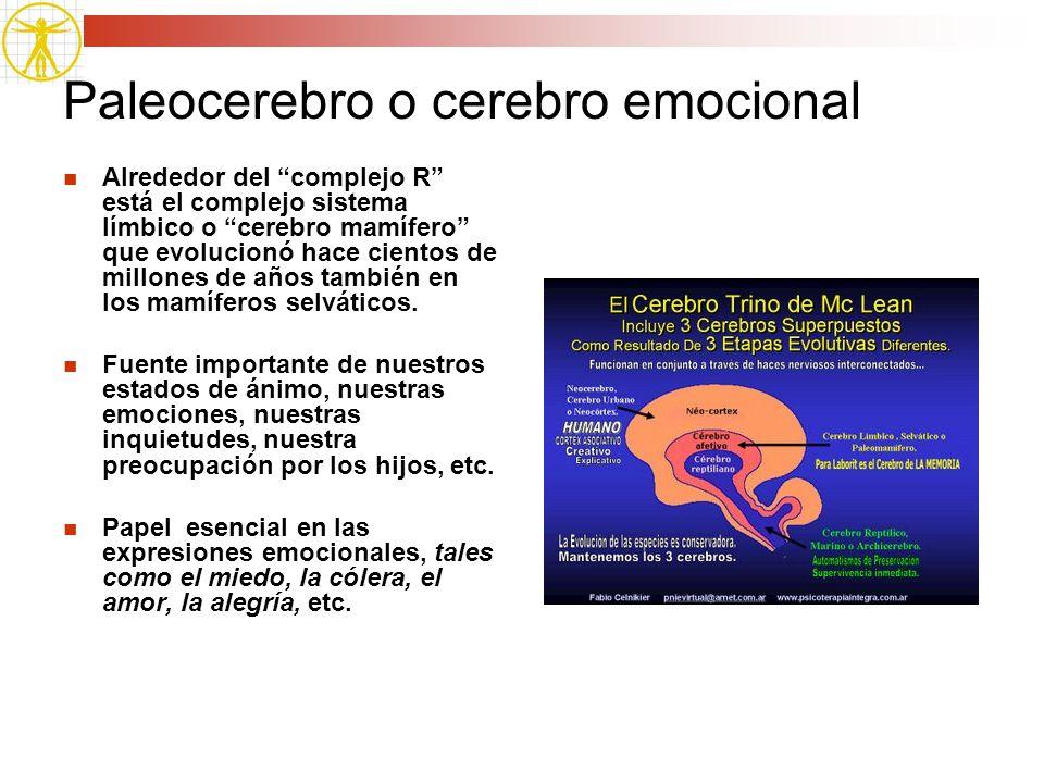 Paleocerebro o cerebro emocional Alrededor del complejo R está el complejo sistema límbico o cerebro mamífero que evolucionó hace cientos de millones