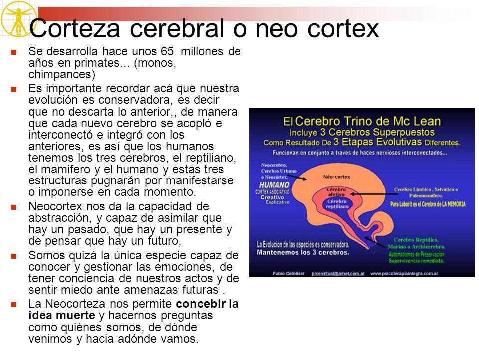 Corteza cerebral o neo cortex Se desarrolla hace unos 65 millones de años en primates... (monos, chimpances) Es importante recordar acá que nuestra ev