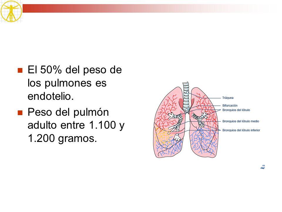 El 50% del peso de los pulmones es endotelio. Peso del pulmón adulto entre 1.100 y 1.200 gramos.