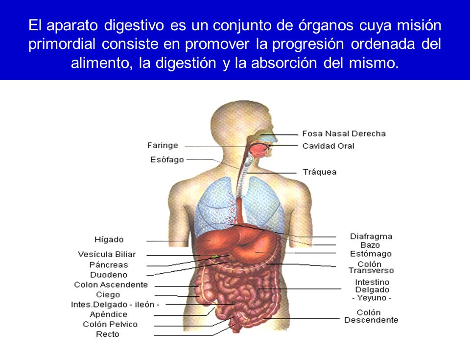 24/03/12 El aparato digestivo es un conjunto de órganos cuya misión primordial consiste en promover la progresión ordenada del alimento, la digestión y la absorción del mismo.