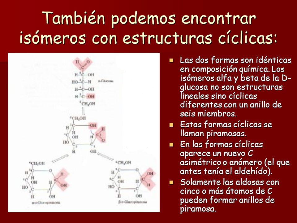 Estructura cíclica de los monosacáridos: Los monosacáridos que tienen cinco o más átomos de C pueden encontrarse en forma de estructura cíclica (en an