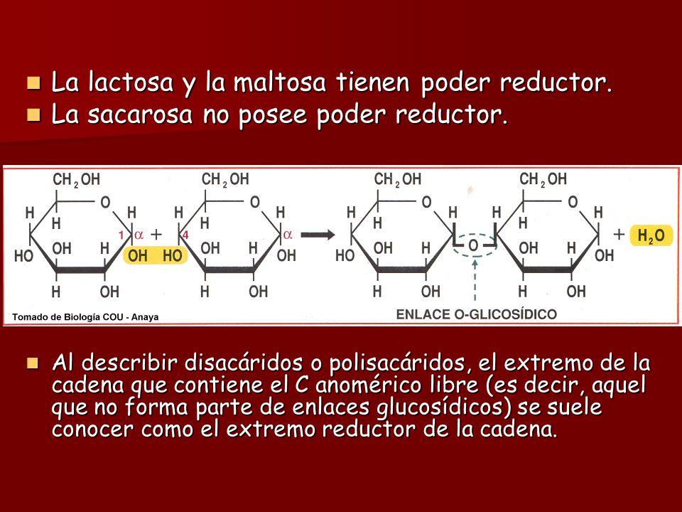 Enlace O-glucosídico: Se forma cuando un grupo hidroxilo de un azúcar reacciona con el C anomérico del otro. Se forma cuando un grupo hidroxilo de un