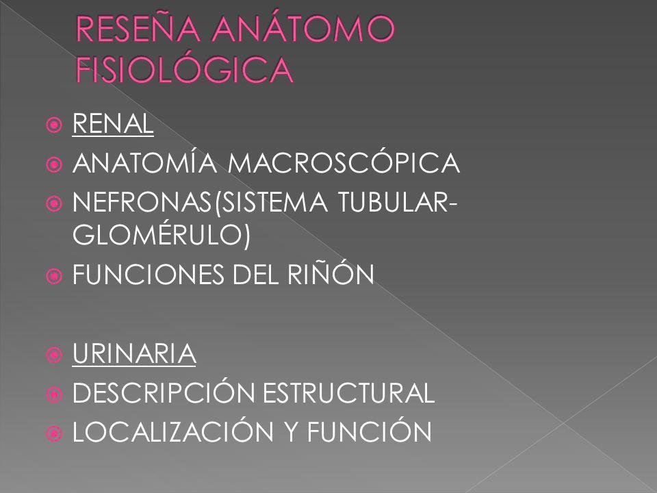 RENAL ANATOMÍA MACROSCÓPICA NEFRONAS(SISTEMA TUBULAR- GLOMÉRULO) FUNCIONES DEL RIÑÓN URINARIA DESCRIPCIÓN ESTRUCTURAL LOCALIZACIÓN Y FUNCIÓN