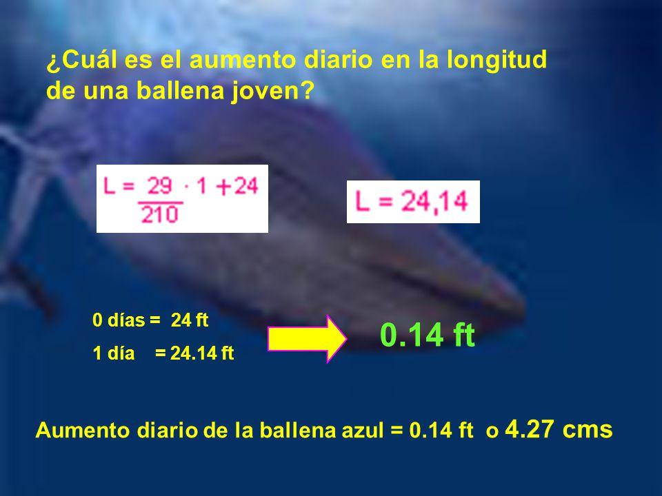¿Cuál es el aumento diario en la longitud de una ballena joven? 0 días = 24 ft 1 día = 24.14 ft 0.14 ft Aumento diario de la ballena azul = 0.14 ft o
