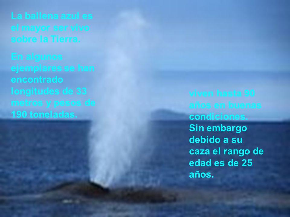 Explicación del grafico En el grafico recién visto, los valores en el eje x (tiempo) llegan hasta los 548 días, esto se debe a que hasta el año y medio de vida, la ballena azul crece 0.14 ft cada día y pasado este tiempo crece pero con menor frecuencia; en este también podemos ver que el en el eje y, parte de 24 ft, esto ocurre debido a que si analizamos los datos del ejercicio podremos darnos cuenta que la ballena nace con 24 ft de longitud.