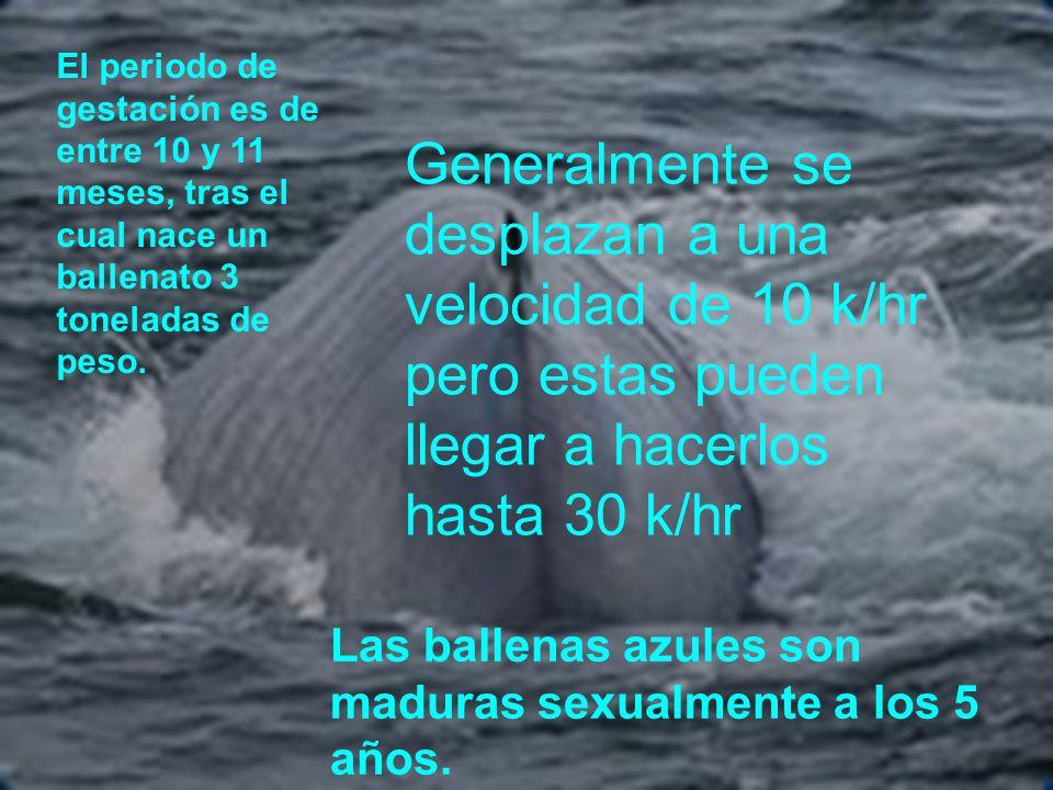 Las ballenas azules son maduras sexualmente a los 5 años. El periodo de gestación es de entre 10 y 11 meses, tras el cual nace un ballenato 3 tonelada