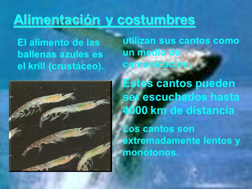 Alimentación y costumbres El alimento de las ballenas azules es el krill (crustáceo). utilizan sus cantos como un medio de comunicación. Estos cantos