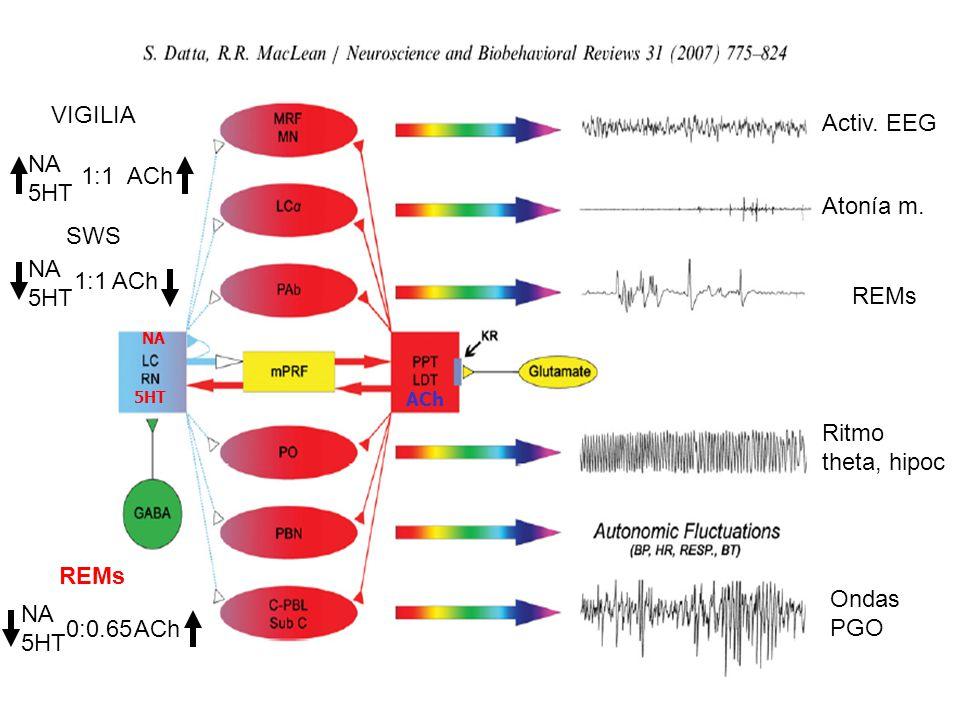Activ.EEG Atonía m.