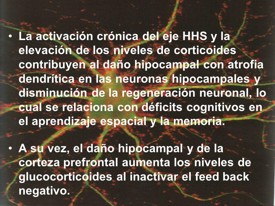 La activación crónica del eje HHS y la elevación de los niveles de corticoides contribuyen al daño hipocampal con atrofia dendrítica en las neuronas h