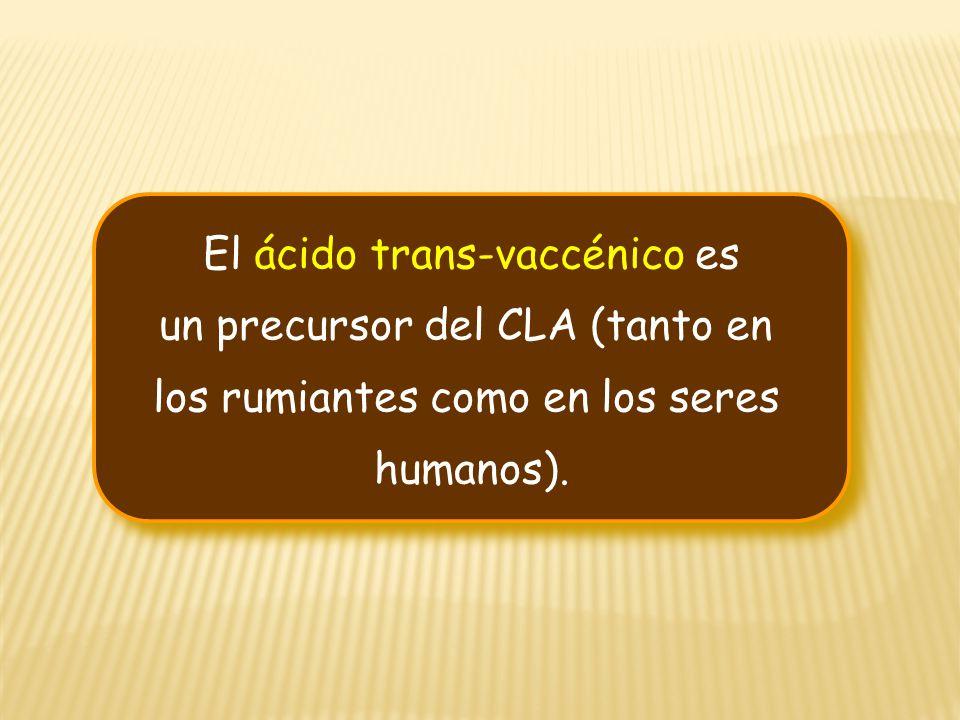 El ácido trans-vaccénico es un precursor del CLA (tanto en los rumiantes como en los seres humanos). El ácido trans-vaccénico es un precursor del CLA