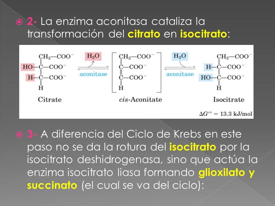 2- La enzima aconitasa cataliza la transformación del citrato en isocitrato : 3- A diferencia del Ciclo de Krebs en este paso no se da la rotura del isocitrato por la isocitrato deshidrogenasa, sino que actúa la enzima isocitrato liasa formando glioxilato y succinato (el cual se va del ciclo):