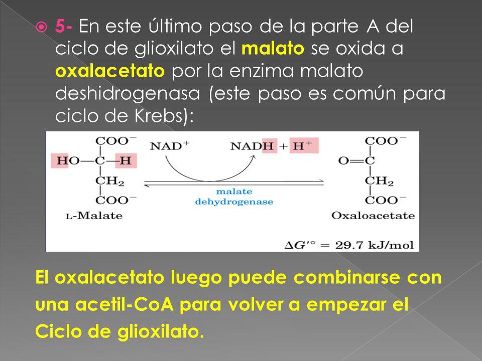 5- En este último paso de la parte A del ciclo de glioxilato el malato se oxida a oxalacetato por la enzima malato deshidrogenasa (este paso es común para ciclo de Krebs): El oxalacetato luego puede combinarse con una acetil-CoA para volver a empezar el Ciclo de glioxilato.