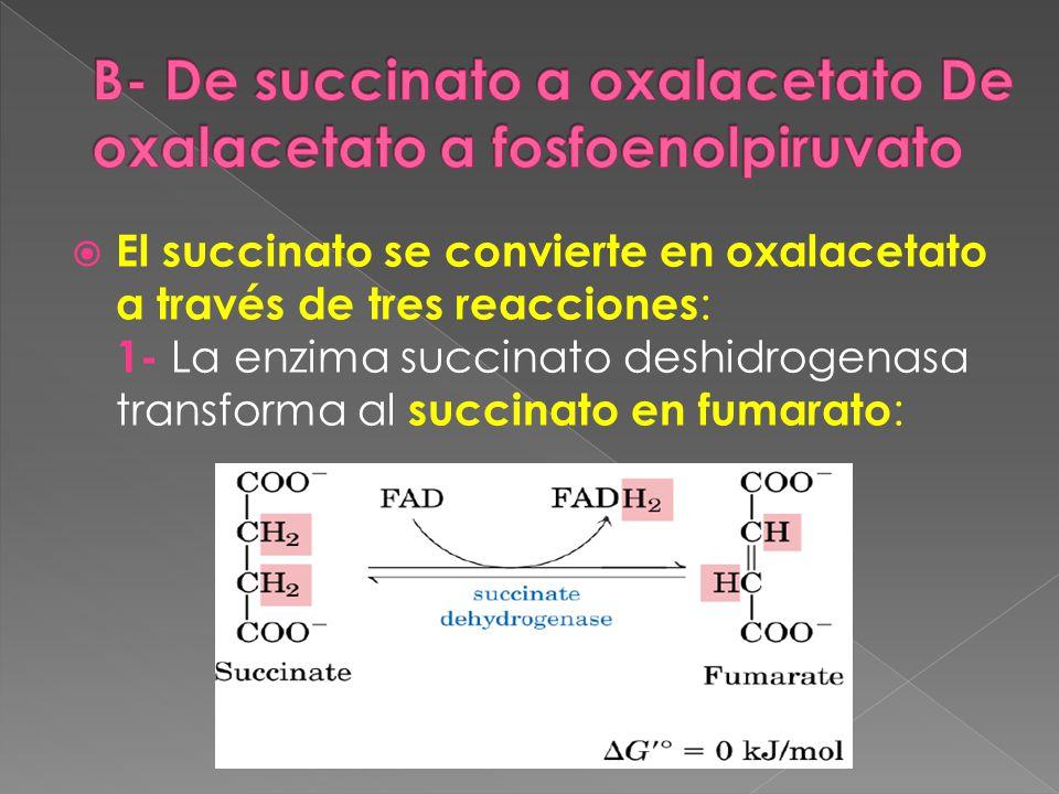 El succinato se convierte en oxalacetato a través de tres reacciones : 1- La enzima succinato deshidrogenasa transforma al succinato en fumarato :