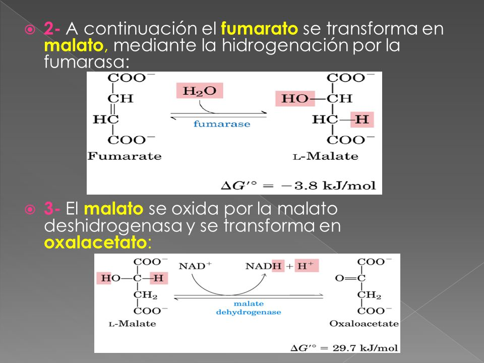 2- A continuación el fumarato se transforma en malato, mediante la hidrogenación por la fumarasa: 3- El malato se oxida por la malato deshidrogenasa y se transforma en oxalacetato :