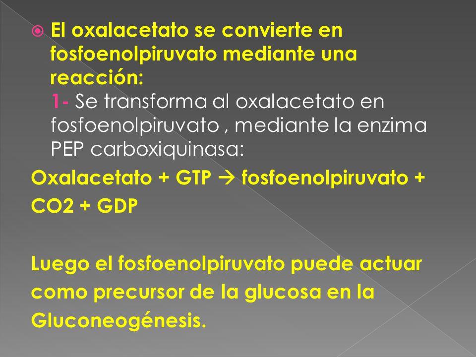 El oxalacetato se convierte en fosfoenolpiruvato mediante una reacción: 1- Se transforma al oxalacetato en fosfoenolpiruvato, mediante la enzima PEP carboxiquinasa: Oxalacetato + GTP fosfoenolpiruvato + CO2 + GDP Luego el fosfoenolpiruvato puede actuar como precursor de la glucosa en la Gluconeogénesis.