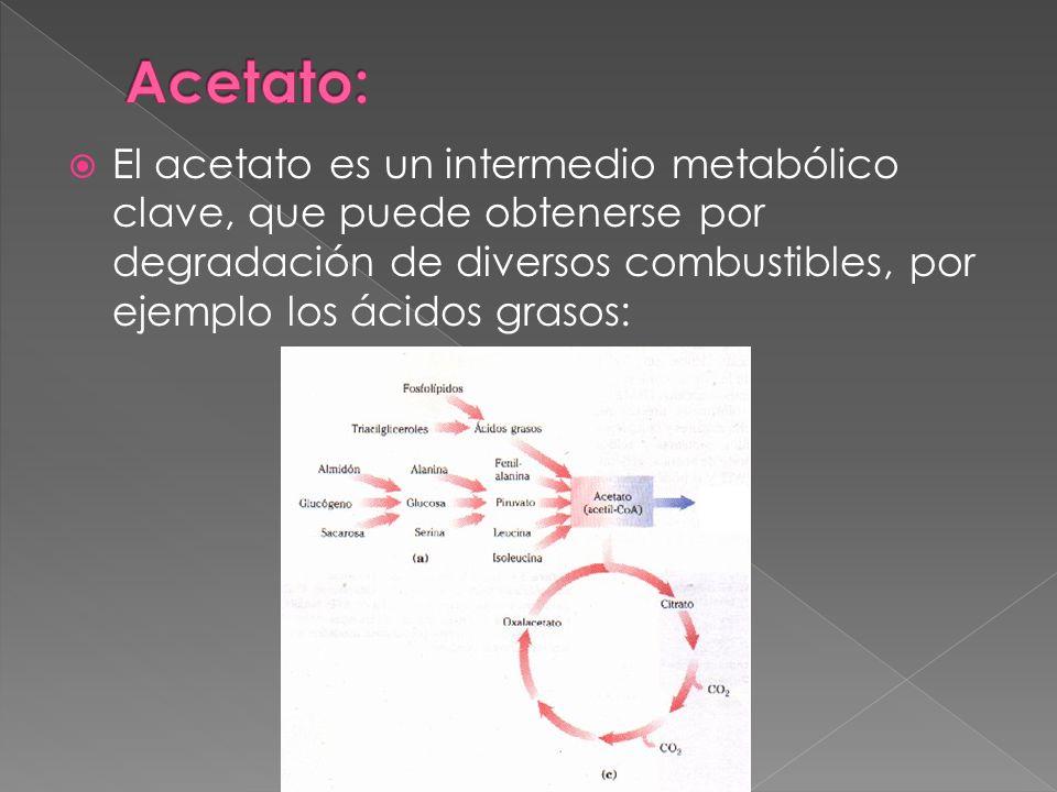 El acetato es un intermedio metabólico clave, que puede obtenerse por degradación de diversos combustibles, por ejemplo los ácidos grasos: