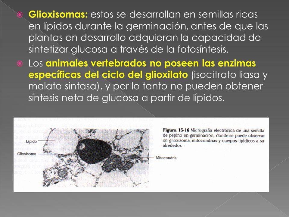 Glioxisomas: estos se desarrollan en semillas ricas en lípidos durante la germinación, antes de que las plantas en desarrollo adquieran la capacidad de sintetizar glucosa a través de la fotosíntesis.