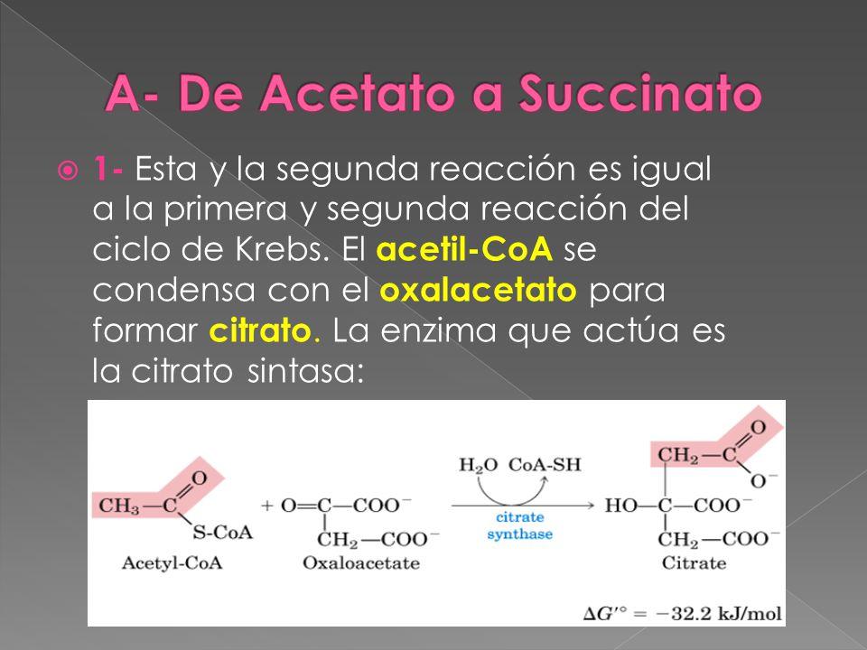 1- Esta y la segunda reacción es igual a la primera y segunda reacción del ciclo de Krebs. El acetil-CoA se condensa con el oxalacetato para formar ci