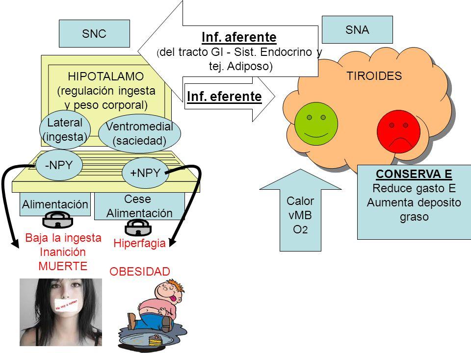 Funciones de NPY Aumenta cantidad y frecuencia de la ingesta Disminuye termogénesis Aumenta la secreción de insulina (hormona que deposita energía) Aumenta secreción de glucocorticoides (influyen deposito graso)