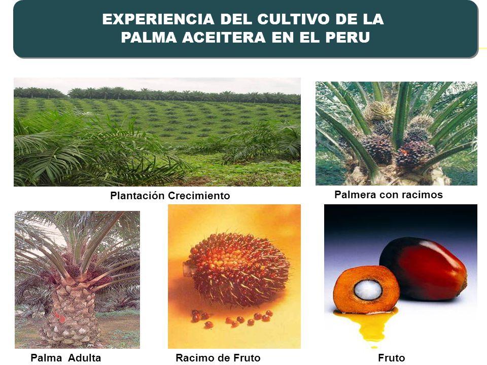 Plantación Crecimiento Racimo de Fruto Fruto Palmera con racimos Palma Adulta EXPERIENCIA DEL CULTIVO DE LA PALMA ACEITERA EN EL PERU EXPERIENCIA DEL