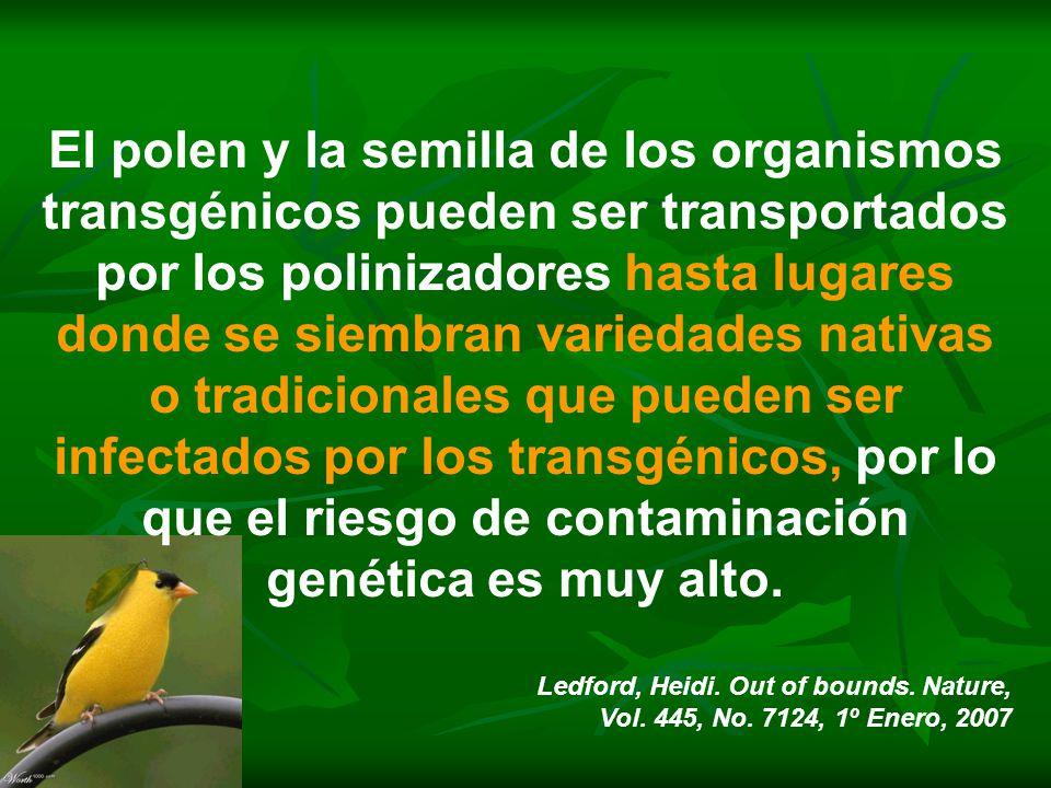 El polen y la semilla de los organismos transgénicos pueden ser transportados por los polinizadores hasta lugares donde se siembran variedades nativas