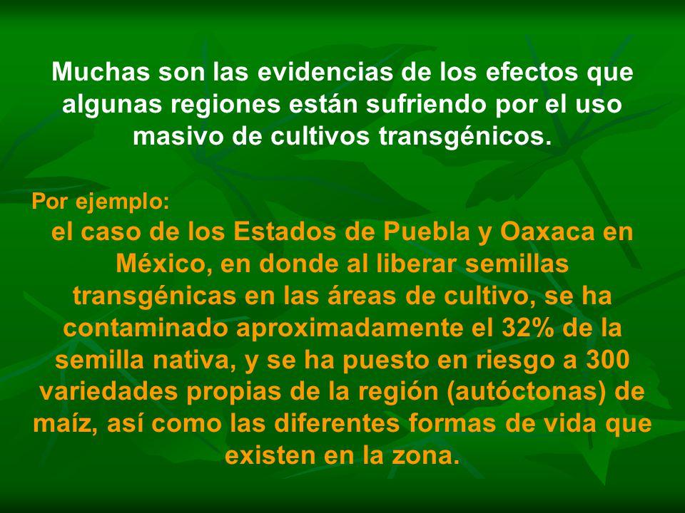 Muchas son las evidencias de los efectos que algunas regiones están sufriendo por el uso masivo de cultivos transgénicos. Por ejemplo: el caso de los