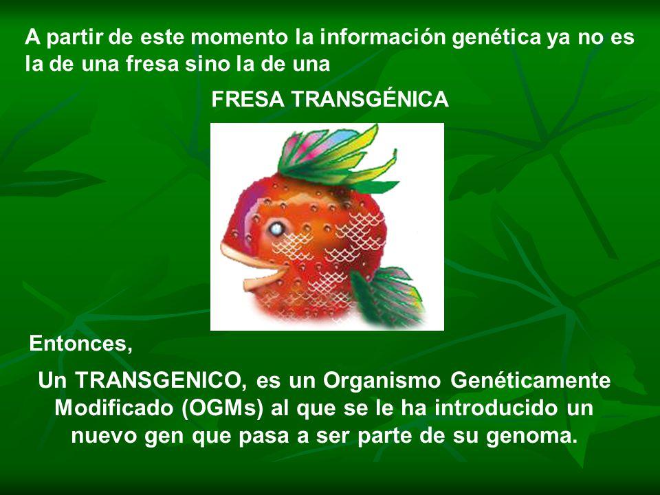 A partir de este momento la información genética ya no es la de una fresa sino la de una FRESA TRANSGÉNICA Entonces, Un TRANSGENICO, es un Organismo Genéticamente Modificado (OGMs) al que se le ha introducido un nuevo gen que pasa a ser parte de su genoma.