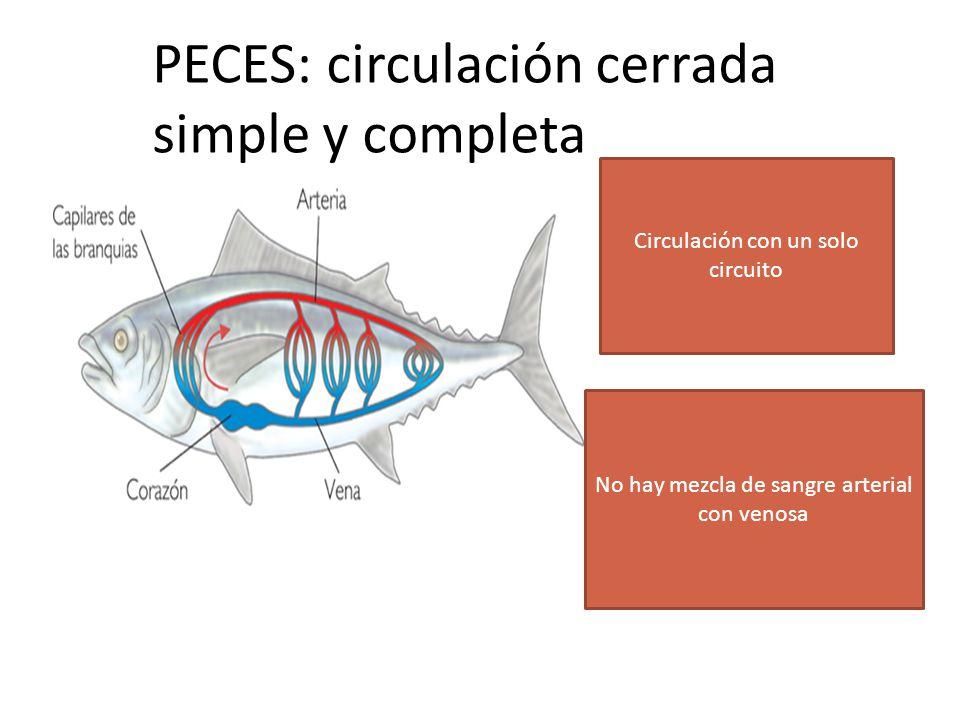 PECES: circulación cerrada simple y completa No hay mezcla de sangre arterial con venosa Circulación con un solo circuito