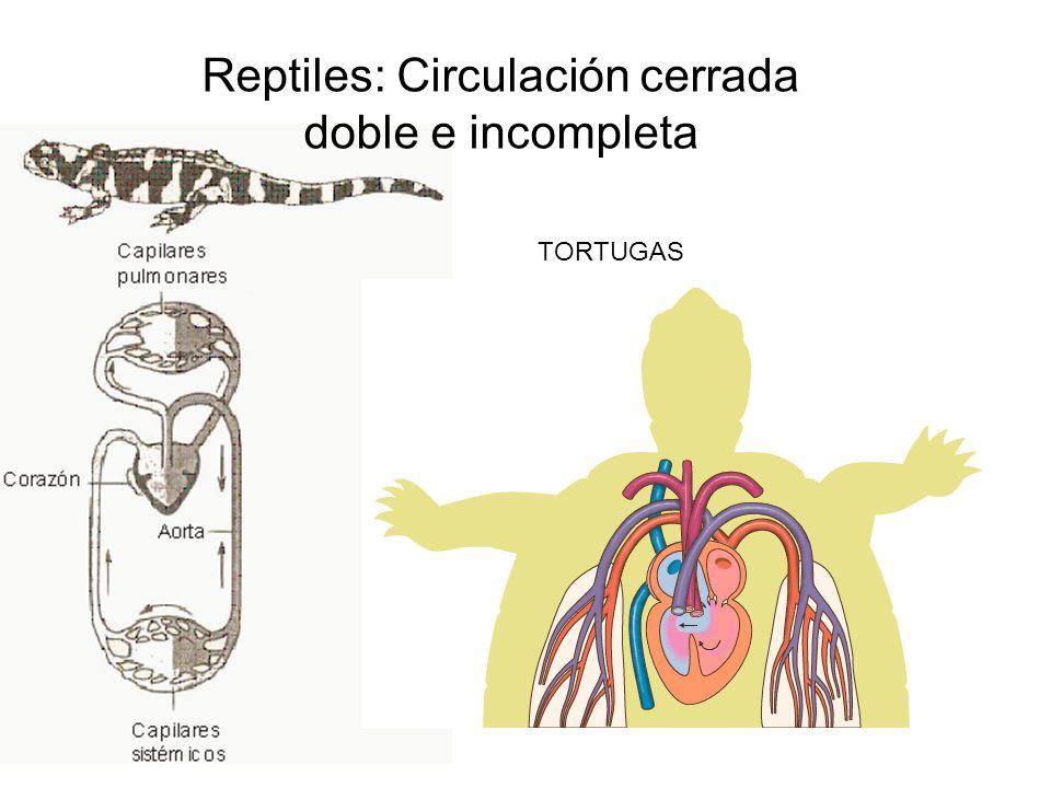 Reptiles: Circulación cerrada doble e incompleta TORTUGAS