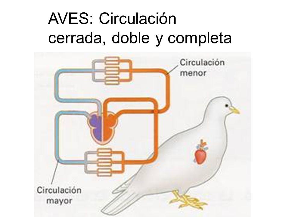 AVES: Circulación cerrada, doble y completa