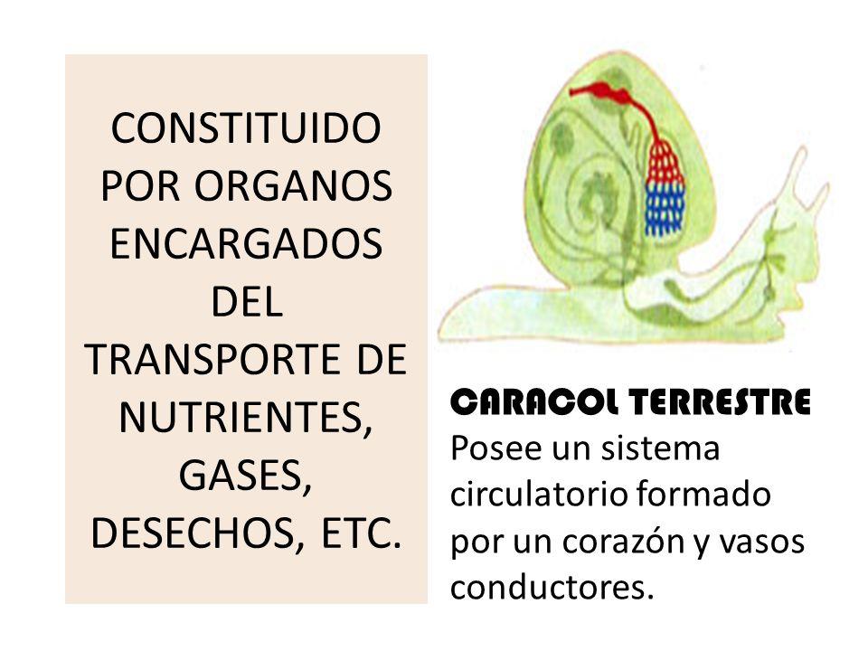 CONSTITUIDO POR ORGANOS ENCARGADOS DEL TRANSPORTE DE NUTRIENTES, GASES, DESECHOS, ETC. CARACOL TERRESTRE Posee un sistema circulatorio formado por un